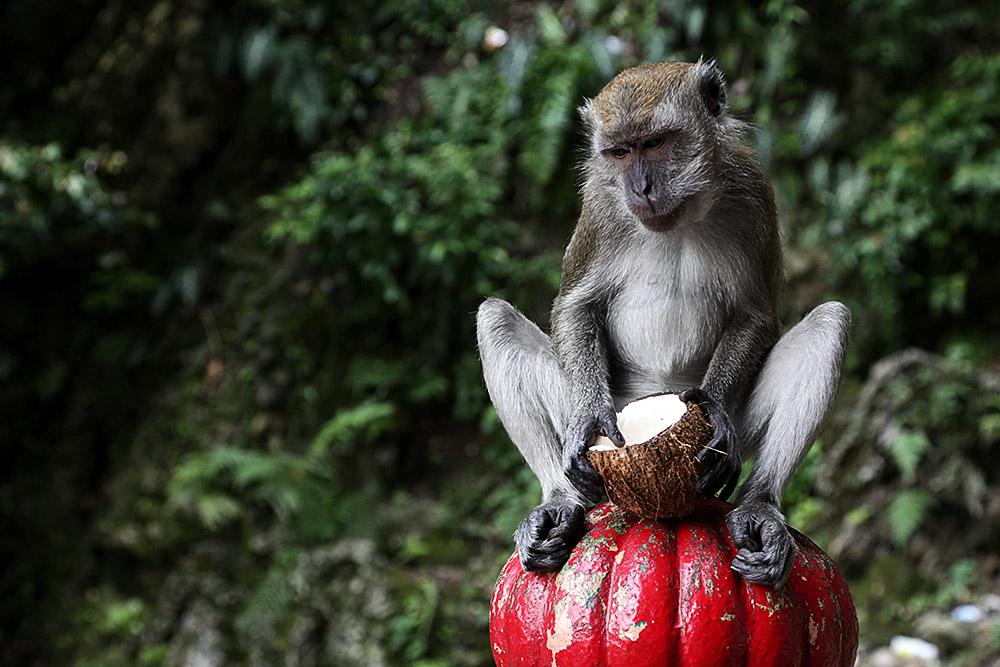 kl-batu-monkey2
